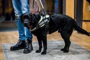 Poză cu Phantom, un labrador negru, câine ghid echipat cu ham și lesă.